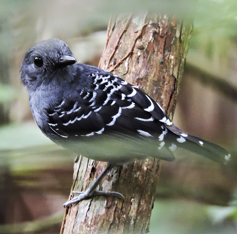 Scaled-backed Antbird - Willisornis poecilinotus - birdwatching colombia