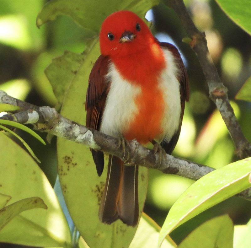 Scarlet and White Tanager - Chrysothlypis salmoni