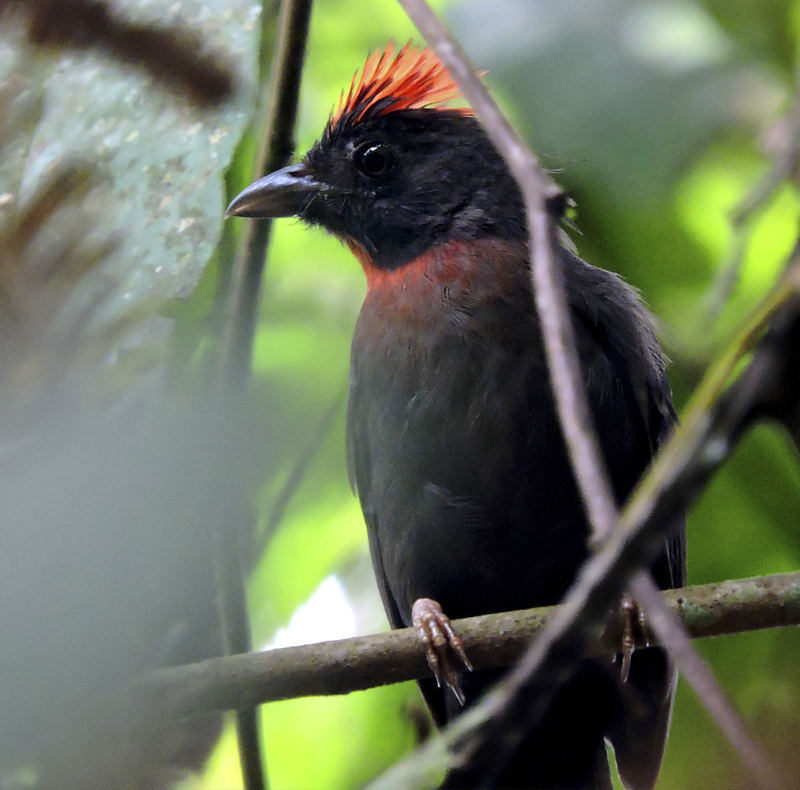 Sooty Ant-Tanager - Habia gutturalis - Birdwatching Colombia