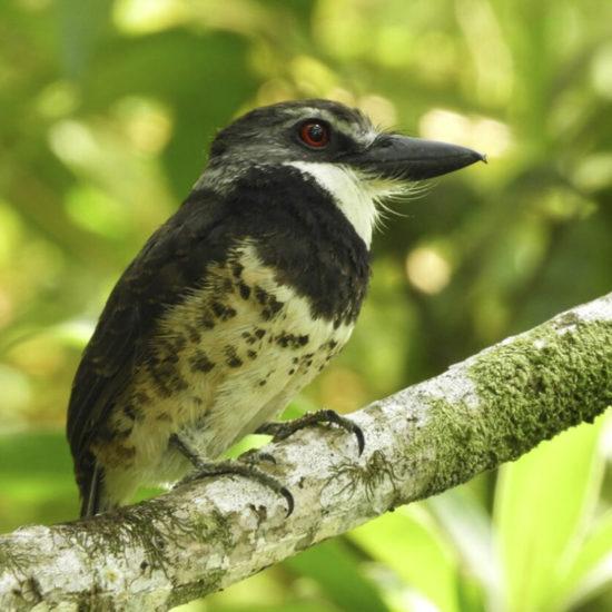 Sooty-capped Puffbird - Bucco noanamae