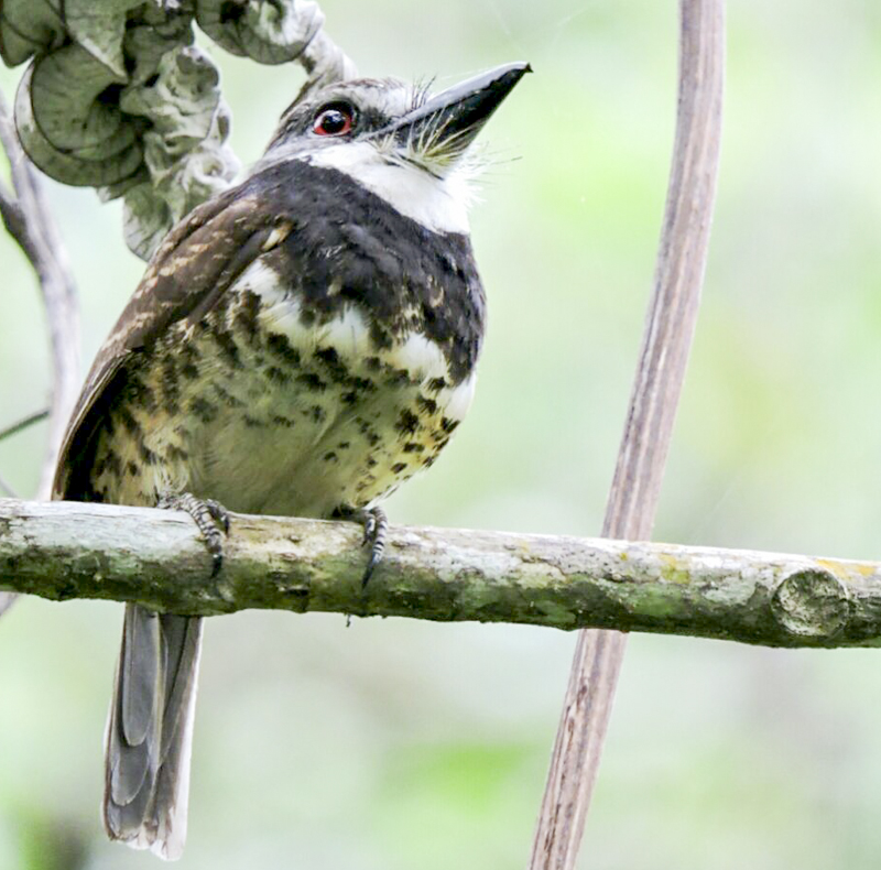 Sooty-capped Puffbird - Bucco noanamae - Endemic of Colombia