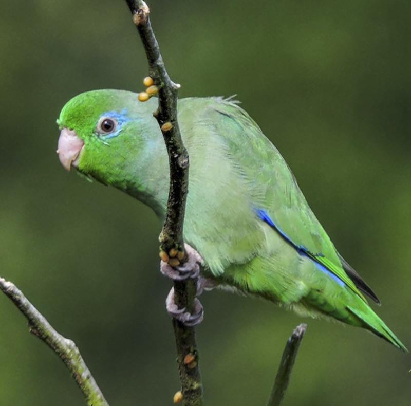 Spectacled Parrotlet - Forpus conspicillatus - Birdwatching Colombia