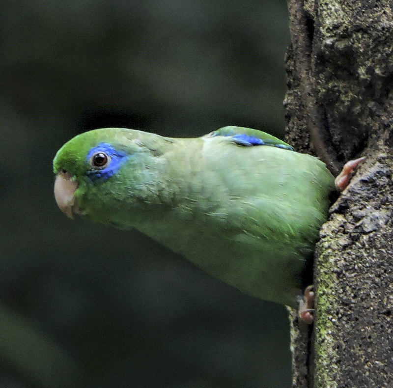 Spectacled Parrotlet Rio Claro - VENT E_R