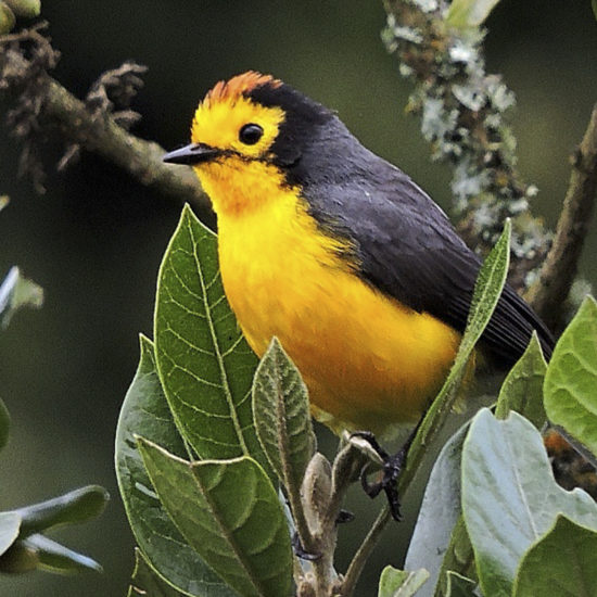 Spectacled Whitestart - Myioborus melanocephalus - Birdwatching Colombia