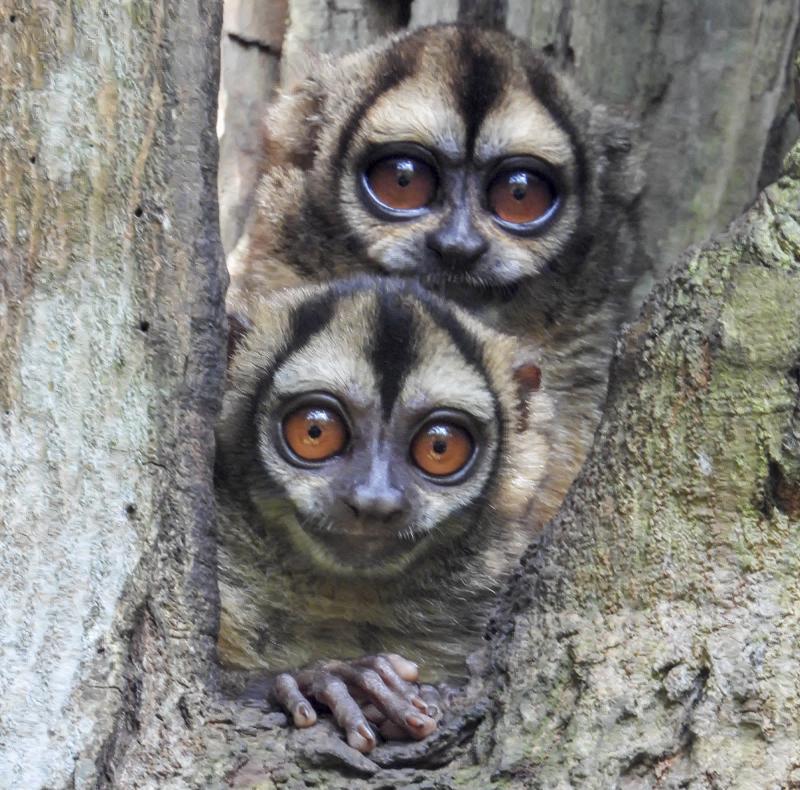 Spix's night monkey - Aotus vociferans - Monkeys of Colombia