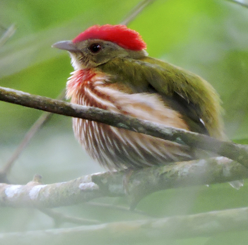 Striped Manakin - Machaeropterus regulus - Birdwatching Colombia