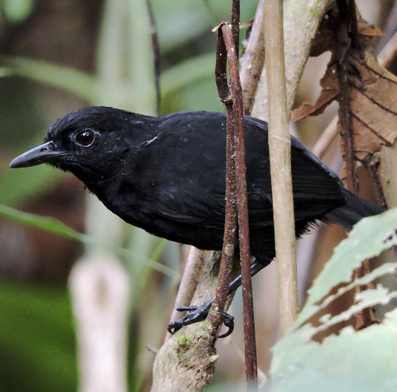 Stub-tailed Antbird - Myrmeciza berlepschi