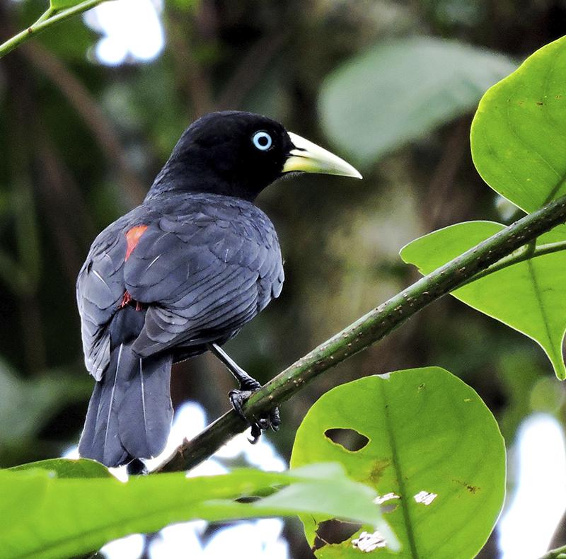 Subtropical Cacique - Cacicus uropygialis