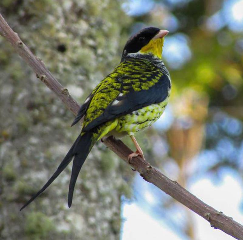 Swallow-tailed Cotinga-Douglas Santos