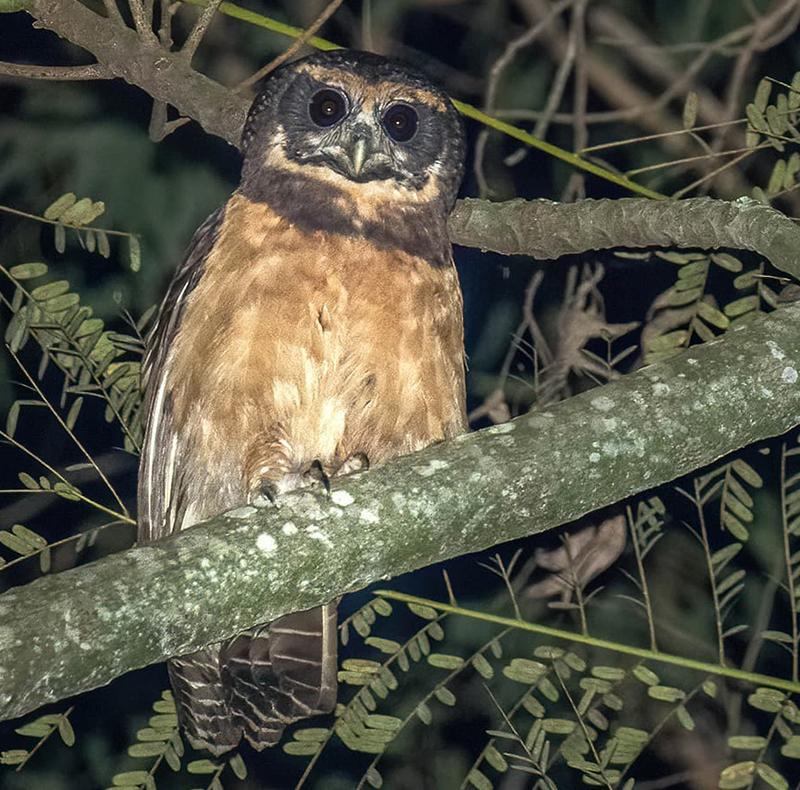 Tawny-browed Owl-Belmira McLeod