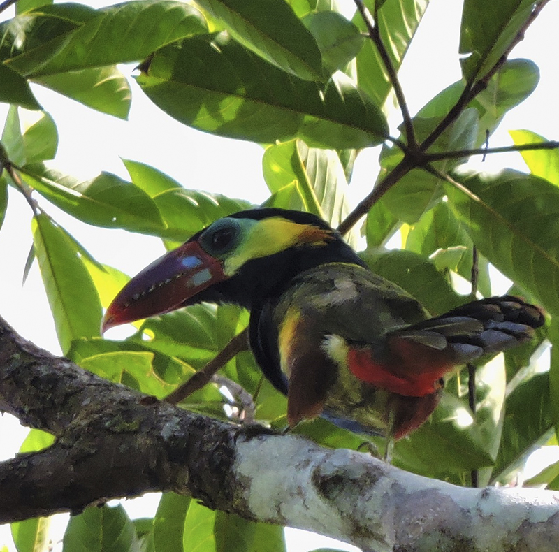 Tawny-tufted Toucanet - Selenidera nattereri - birdwatching colombia