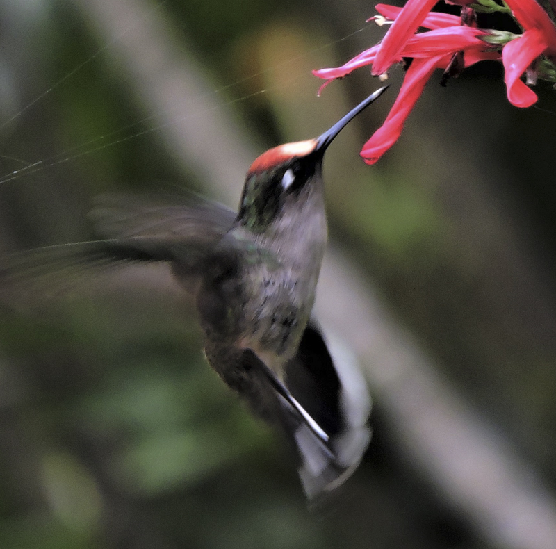 Tolima Blossomcrown - Anthocephala berlepschi - Birdwatching Colombia