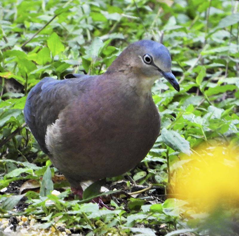 Tolima Dobve - Leptotila conoveri - Birding Colombia