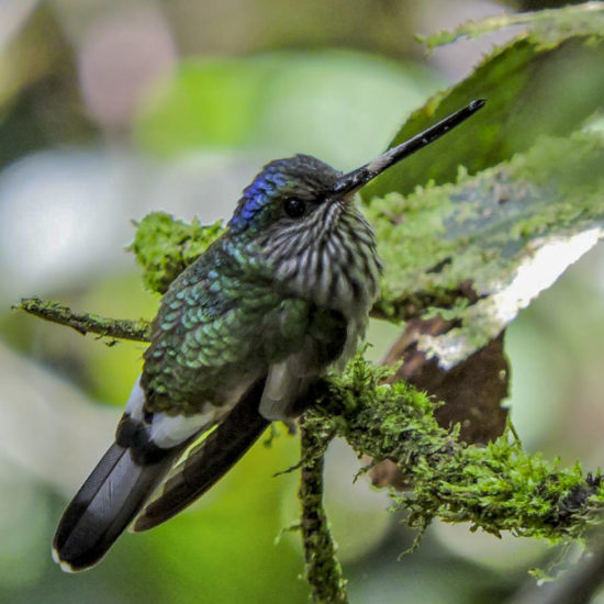 Tooth-billed Hummingbird - Androdon aequatorialis