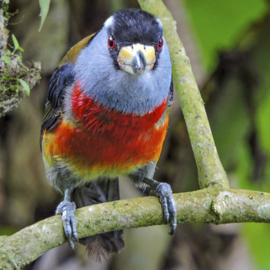 Toucan Barbet - Semnornis ramphastinus