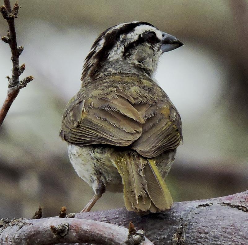 Tucuyo Sparrow