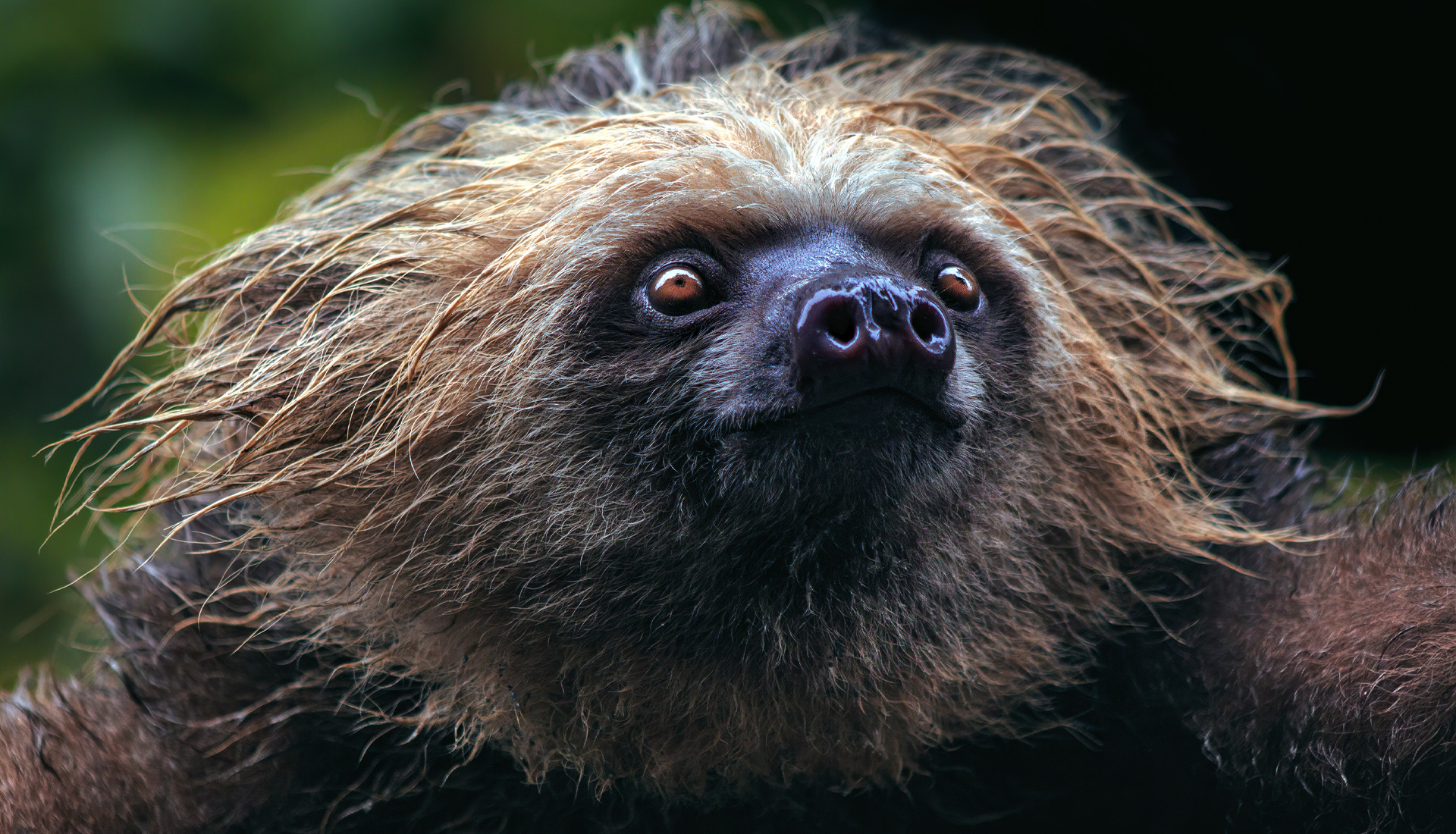 Two-Toed Sloth - Choloepus hoffmanni