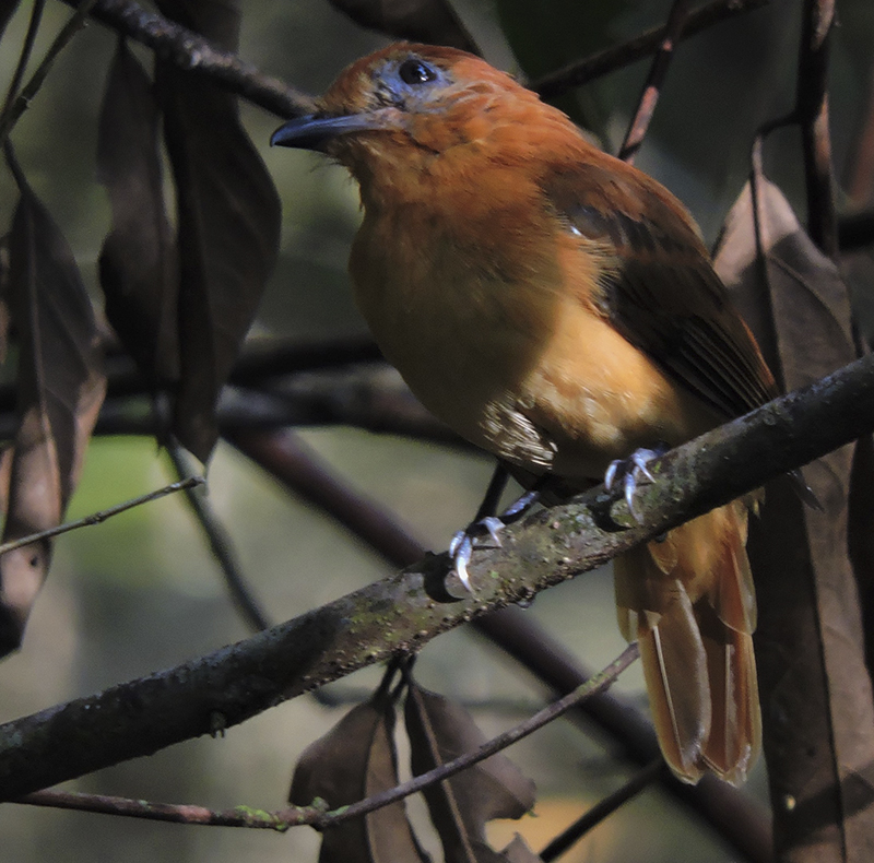 Varzea Schiffornis - Schiffornis major - birdwatching colombia