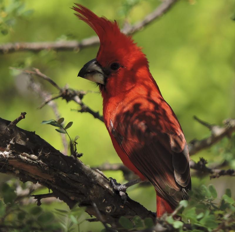 Vermillion Cardinal - Cardinalis phoeniceus