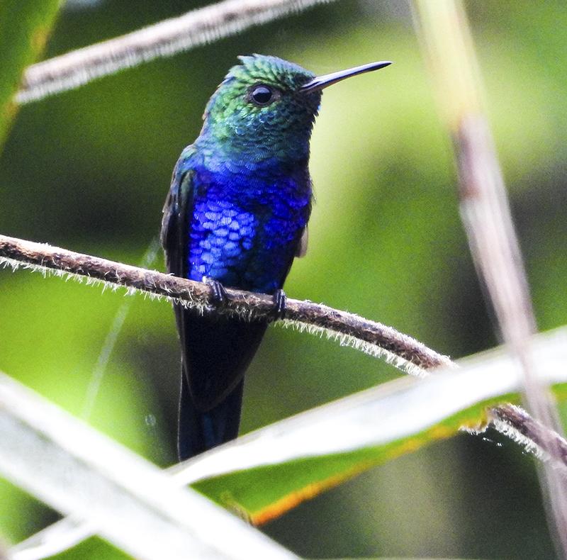 Violet-bellied Hummingbird - Damophila julie