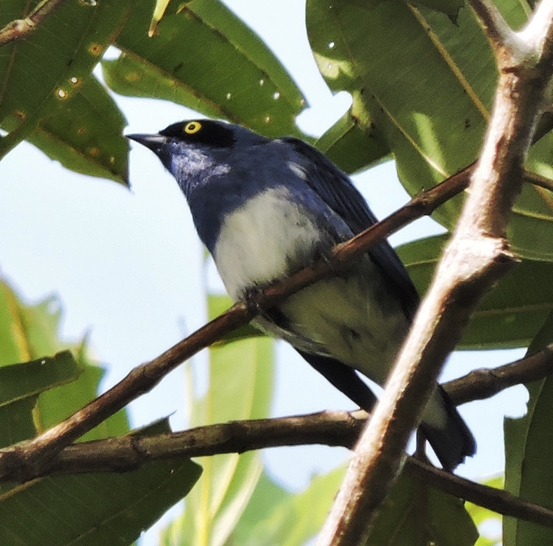 White-bellied Dacnis - Dacnis albiventris - birdwatching colombia