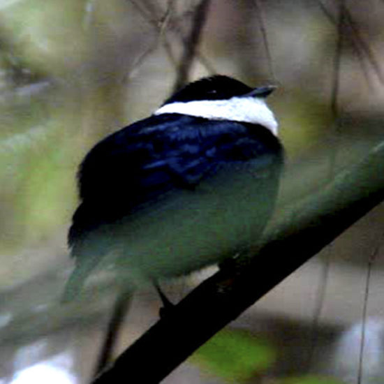 White bibbed Manakin - Corapipo leucorrhoa - Birdwatching Colombia