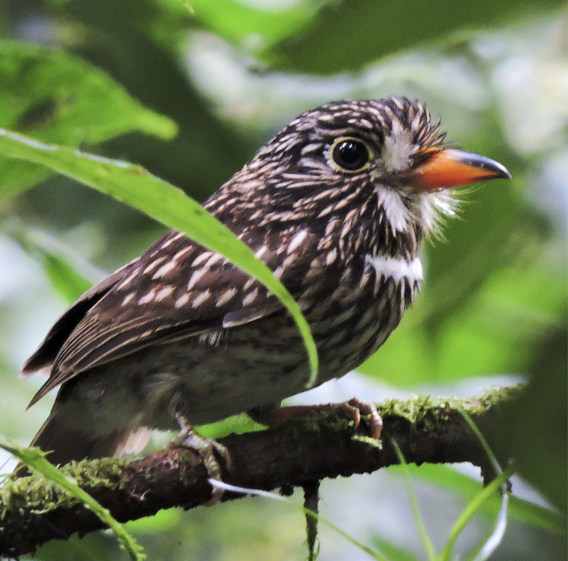 White-chested Puffbird - Malacoptila fusca - Birdwatching in Colombia