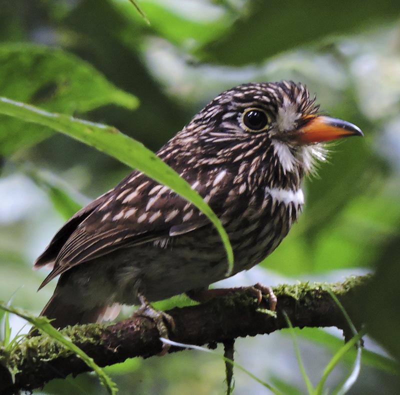 White-chested Puffbird - Malacoptila fusca_