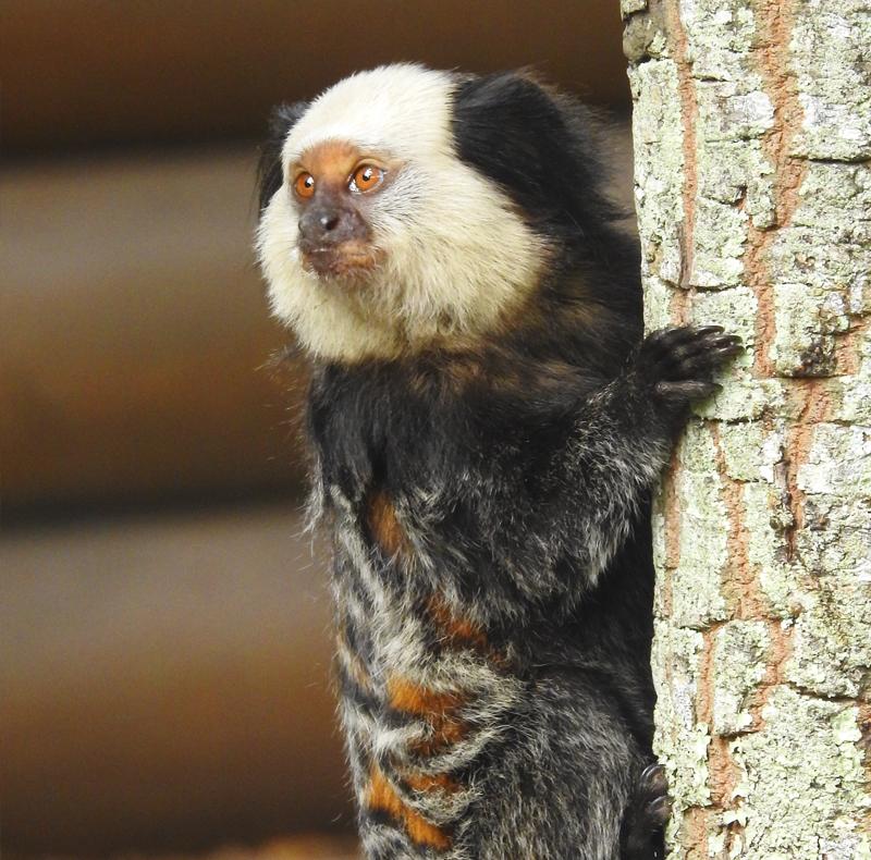 White-headed marmoset - Callithrix geoffroyi