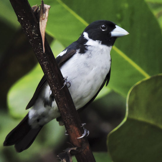 White-naped Seedeater