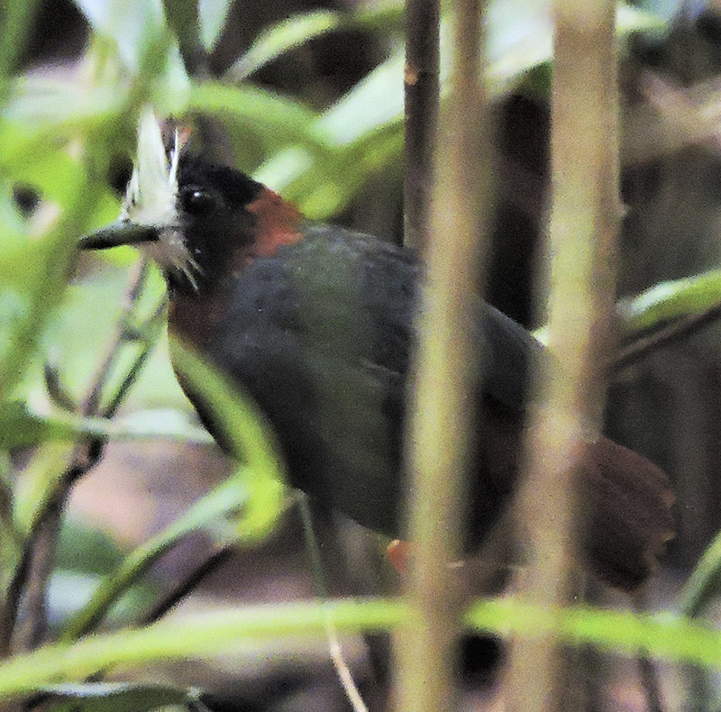 White-plumed Antbird - Pithys albifrons - birdwatching colombia