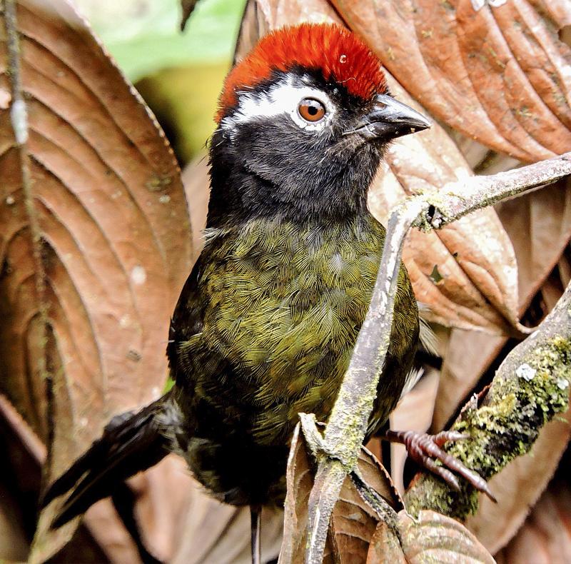 White-rimmed Brush-Finch - Atlapetes leucopis - Southren Colombia