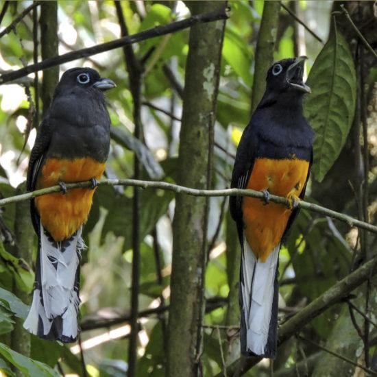 White-tailed Trogon - Trogon chionurus - Birdwatching Colombia