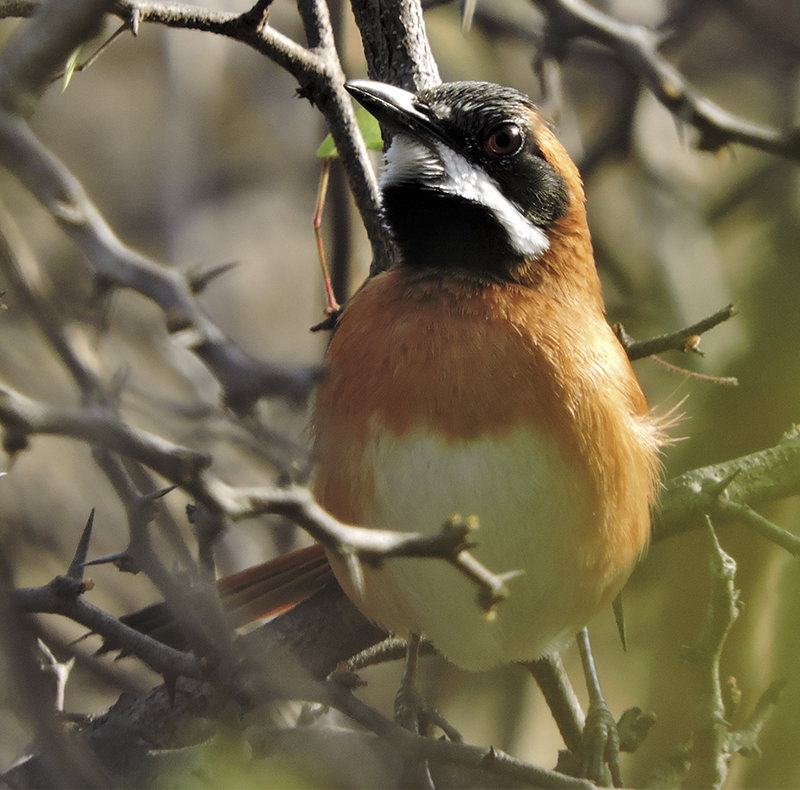 White-whiskered Spinetail