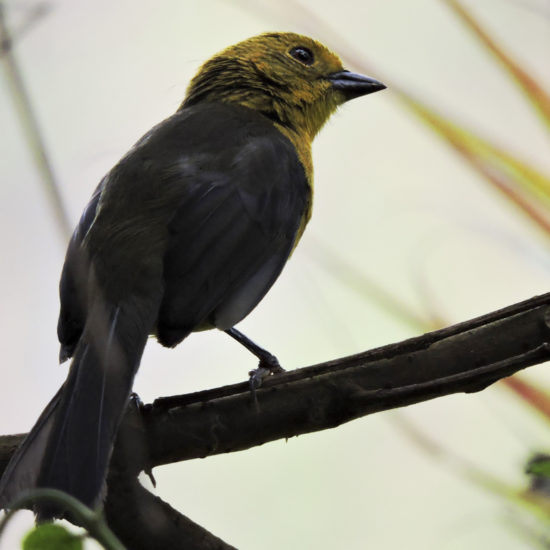 Yellow-headed Brsuh-Finch - Atlapetes flaviceps - Birdwatching Colombia