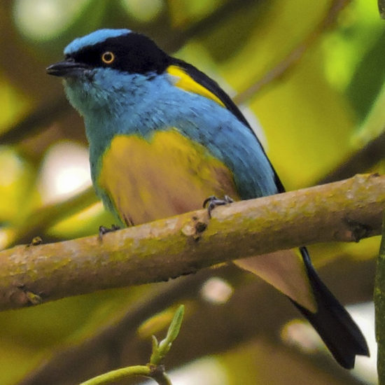 Yellow-tufted Dacnis - Dacnis lineata - Birding in Colombia