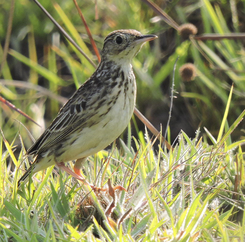 Yellowish Pipit - Anthus lutescens