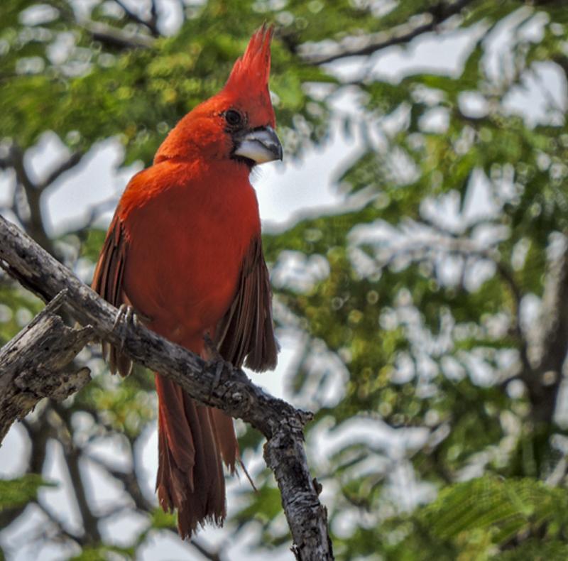 Cardinalis phoeniceus - Vermilion Cardinal