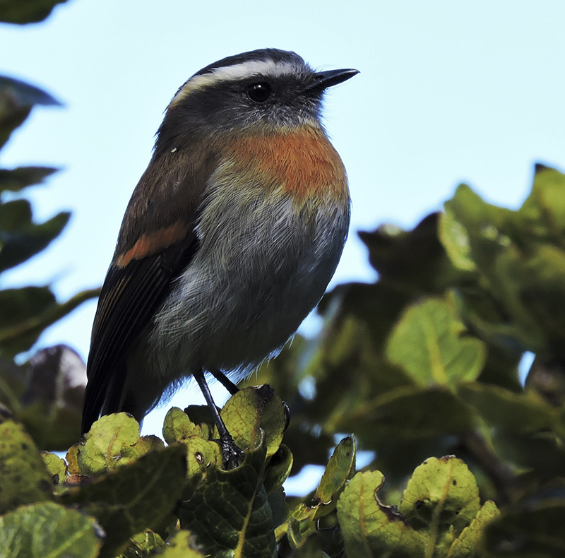 Rufous-breasted Chat-Tyrant - Ochthoeca rufipectoralis