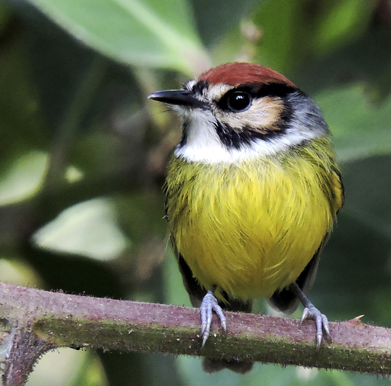 Rufous-capped Tody-Tyrant - Poecilotriccus ruficeps