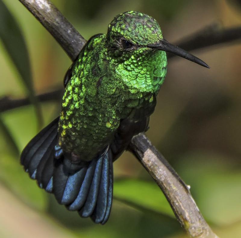 Steely-vented Hummingbird - Amazilia saucerottei