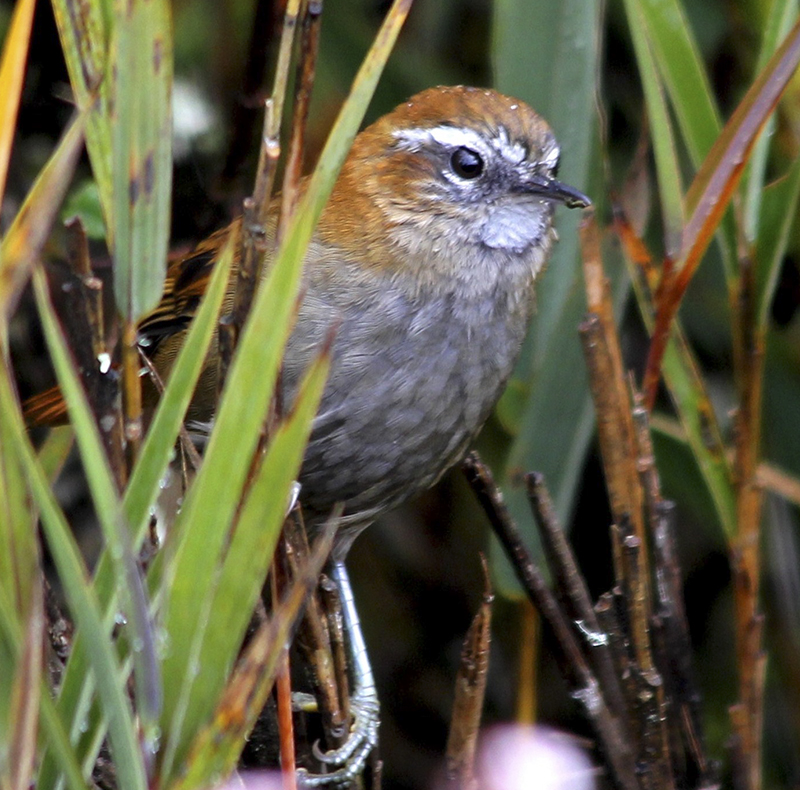 White browed Spinetail - Hellmayrea gularis