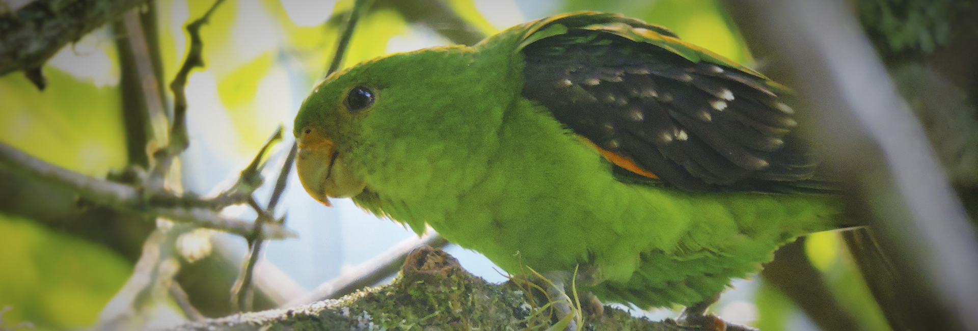 Spot-winged Parrotlet - Santa Maria Dec 2014