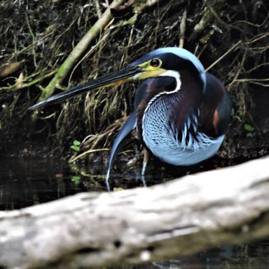Agami Heron - Estacion Biologica - Guatemala 2018