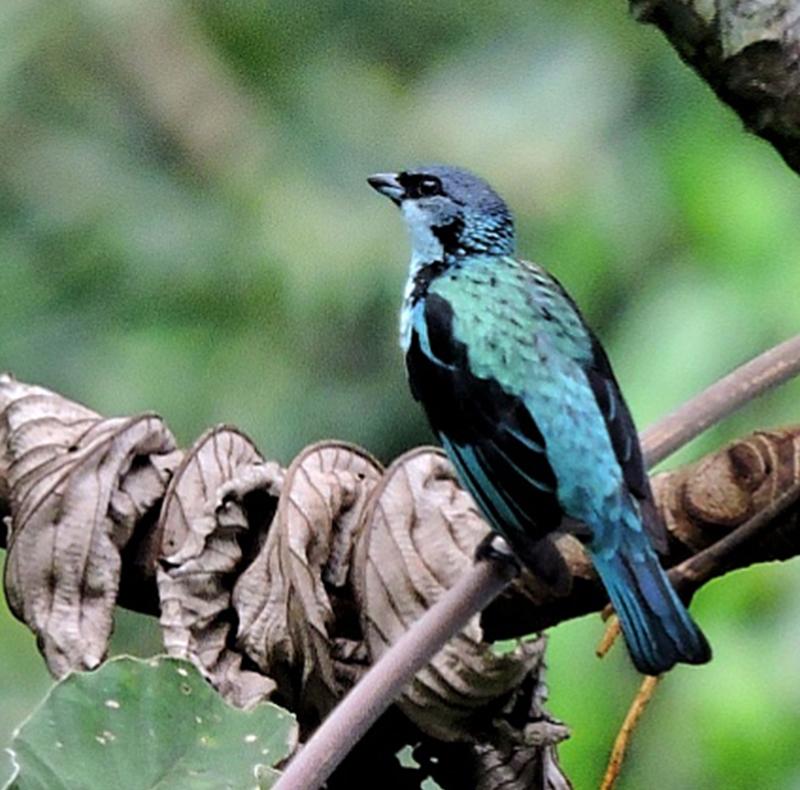 Agami Heron - Estacion Biologica - Guatemala 2018 (5)