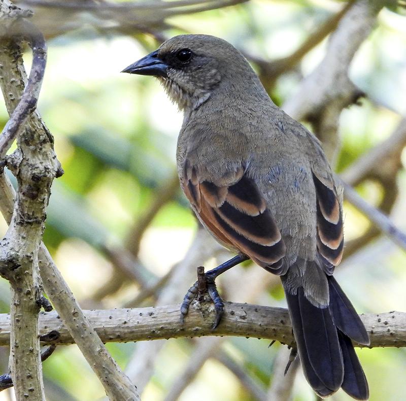 Baywing - Pantanal - Brasil