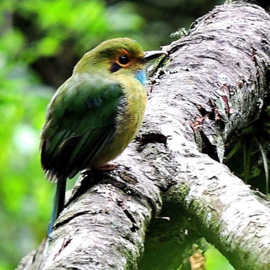 Blue-throated Motmot - Guatemala