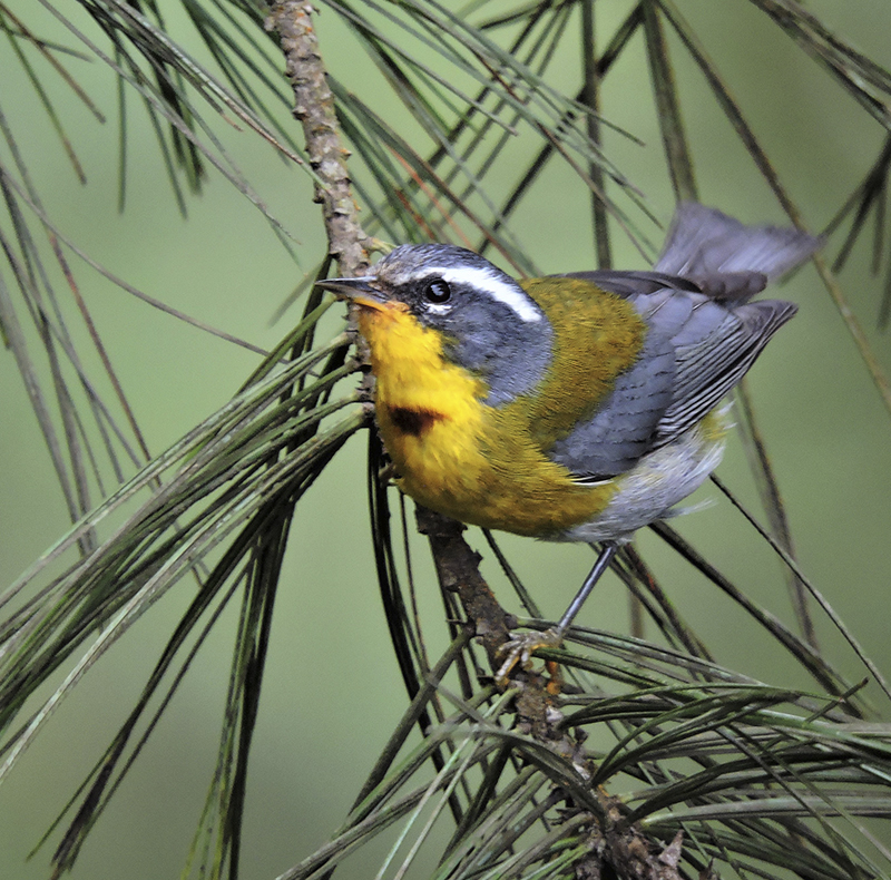 Crescent-chested Warbler - Guatemala