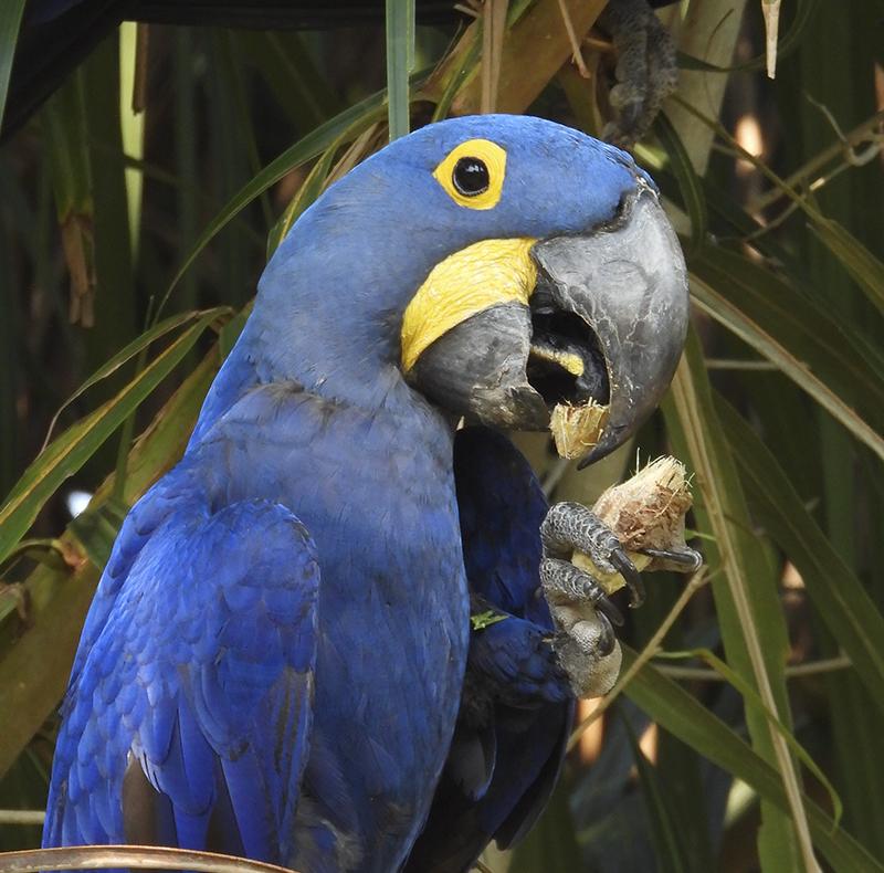 Guacamayo azul Río