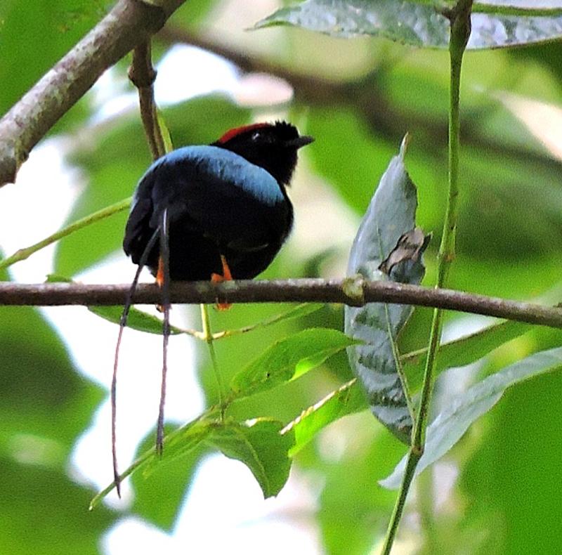 Long-tailed Manakin - Guatemala